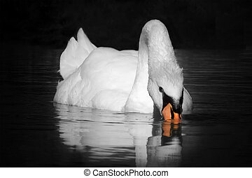 swan in the lake isolated on black background