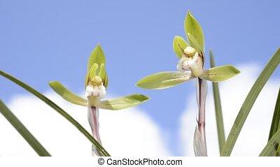 cymbidium, goeringii, orchidee