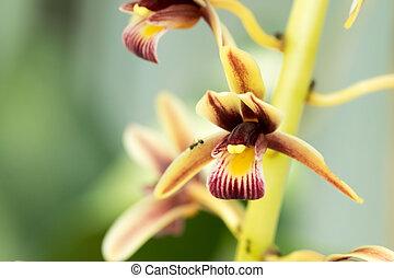 Cymbidium, Orchidaceae, Laos