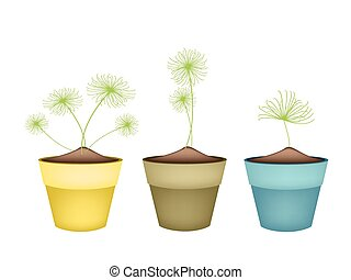 Cyperus Papyrus Plant in Ceramic Flower Pots - Ecological...