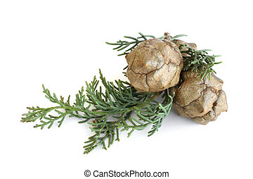 Cypress foliage and cones on white background
