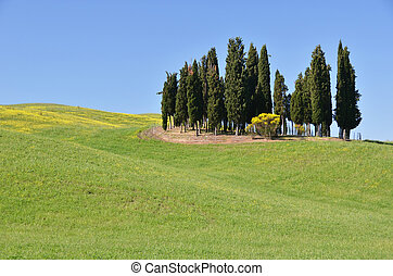 Cypress groove on the hill. Tuscany, Italy
