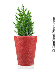 Cypress in  pot isolated on a white background