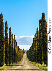 Cypress in tuscany - A cypress avenue in Val d'Orcia, Siena...