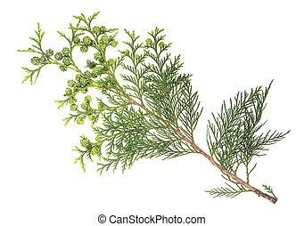 cypress, kvist