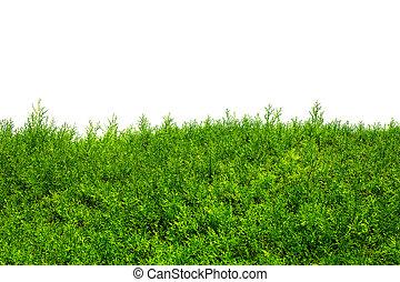 (cypress, przestrzeń, text., odizolowany, drzewa, krzak, zielony, tuja, juniper)., biały, kopia, żywopłot