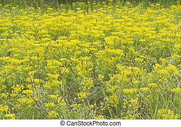 Cypress spurge (Euphorbia Cyparissias) on a meadow