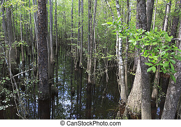 Cypress Stand in Blackwater River in Florida Panhandle -...