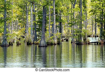 Cypress swamp - A stand of bald cypress trees growing in a...