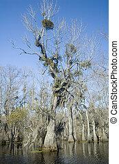 Cypress Swamp - Spanish moss and mistletoe in cypress tree