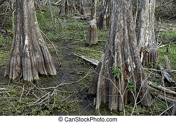 Cypress trees at Kirby storter roadside park big cypress national preserve, florida, united states, usa, taken in march 2006, The first National Preserve in the National Park System