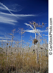 Cypress trees in Florida's Big Cypress National Preserve