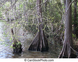 Cypress trees in Louisiana
