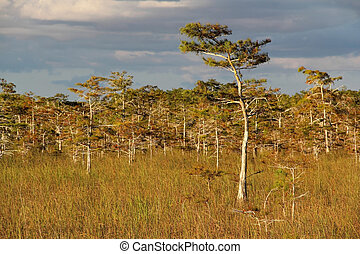 Cypress Trees, Everglades National Park, South Florida