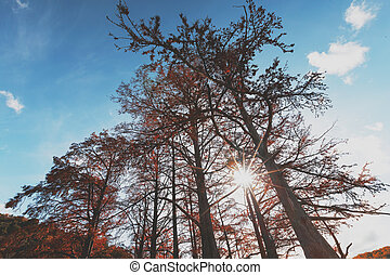 Cypress trees in autumn with red leaves against blue sky with sun rays. Majestic and Beautiful the trunks of cypress trees, view from below.