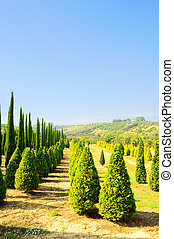 Cypress Trees in The Nursery Garden in Tuscany, Italy