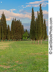 Cypress trees landscape natural background green grass field