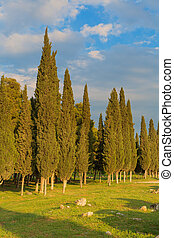 Cypress trees landscape tall trees summer evening