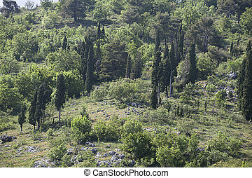 Cypress trees on a hill