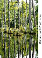 Cypress Trees Reflecting