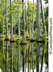 Cypress Trees Reflecting