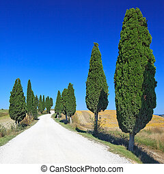 Cypress Trees rows and a white road rural landscape in Crete Senesi land near Siena, Tuscany, Italy, Europe.