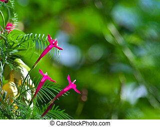 Cypress vine - Ipomoea quamoclit flowers(cypress vine, ...