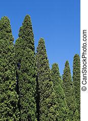 High pyramidal cypresses against a blue sky
