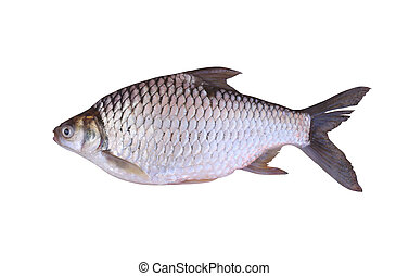 Cyprinidae or Silver barb is in the freshwater fish on white...
