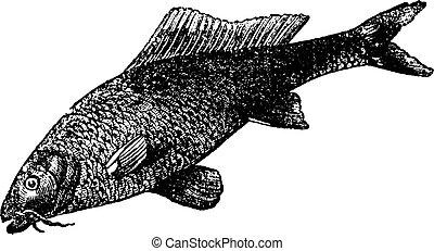 Cyprinus carpio or common carp vintage engraving