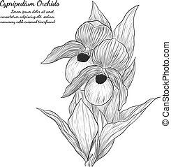 Cypripedium orchids by hand drawing.