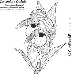 Cypripedium orchids by hand drawing