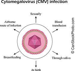 Cytomegalovirus. Diseases caused by cytomegalovirus. Infographics. Vector illustration
