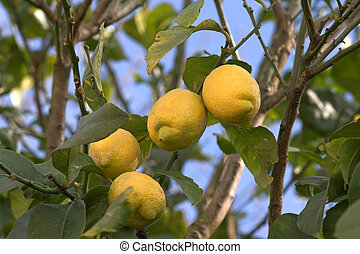 cytrynowe drzewo