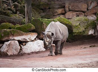 czarnoskóry, rhinoceros:, zwierzę, życie, w, afryka