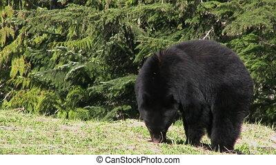 czarnoskóry, trawa, jedzenie, niedźwiedź