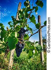 czech vineyards from moravia