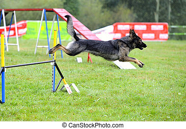 Czechoslovak Pastor in agility test in fence jumping obstacle