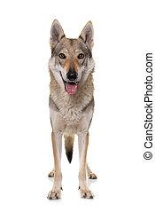 czechoslovakian, 狼, 犬