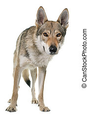 czechoslovakian, 늑대, 개