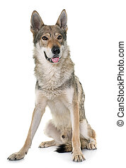 czechoslovakian, lobo, cão