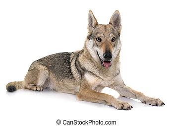 czechoslovakian, loup, chien