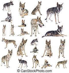 czechoslovakian, loup, groupe, chien