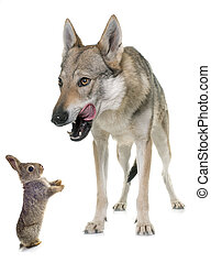 czechoslovakian wolf dog and bunny in front of white background