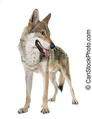 czechoslovakian, wolf, dog