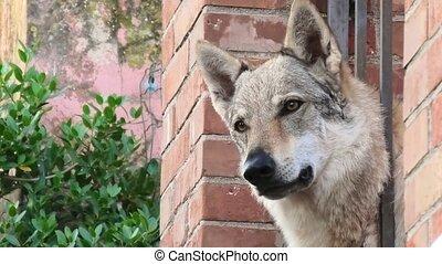 Czechoslovakian Wolfdog close up - standing Czechoslovakian ...