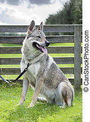 Czechoslovakian Wolfdog.