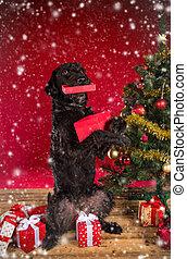czerwony czarnoskóry, pies, dar, boże narodzenie
