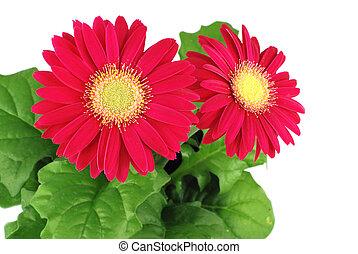 czerwony, gerbera, kwiaty
