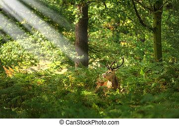 czerwony jeleń, ryjący koleinami, pora, jesień, upadek